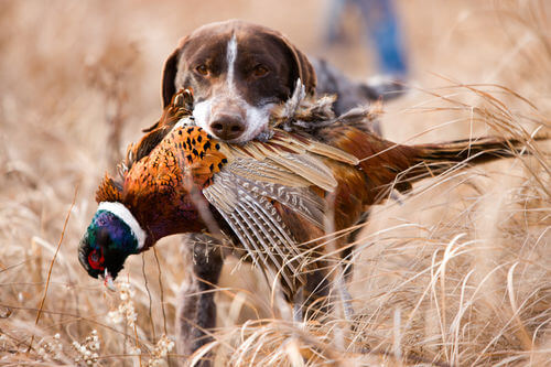 Hunting Dogs & Accessories